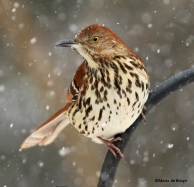 Brown thrasher IMG_2127©Maria de Bruyn