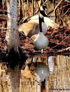 Canada goose IMG_8306©Maria de Bruyn signed res 2