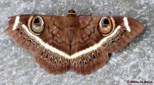 moth, Cream-striped owl IMG_6548© Maria de Bruyn