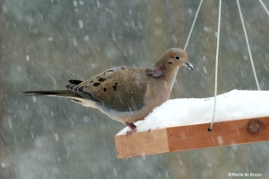 Mourning dove IMG_2478©Maria de Bruyn