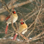 Northern cardinal IMG_2375©Maria de Bruyn