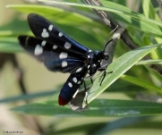 Polka-dot wasp moth IMG_0107V