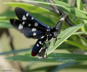 Polka-dot wasp moth IMG_0107V