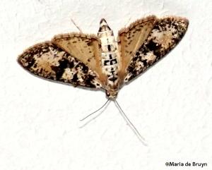 Splendid palpita moth IMG_4696©Maria de Bruyn