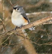 Tufted titmouse IMG_2355©Maria de Bruyn