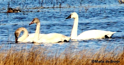 tundra swan IMG_8676©Maria de Bruyn signed res