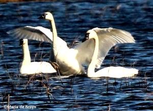 Tundra swans IMG_8442©Maria de Bruyn