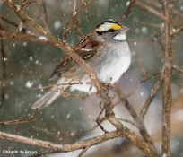 white-throated sparrow IMG_2564©Maria de Bruyn