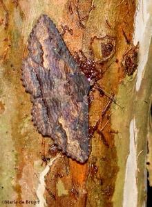 Zale moth IMG_4866©Maria de Bruyn