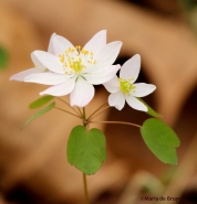 Rue-anemone IMG_7903©Maria de Bruyn res