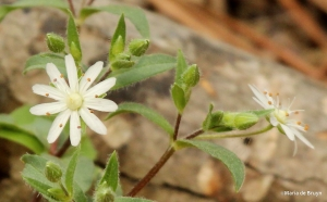 Star chickweed IMG_7858©Maria de Bruyn
