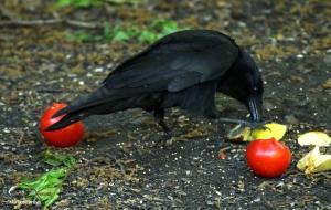 american crow IMG_3421©Maria de Bruyn res