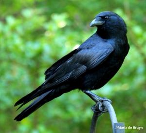 american crow IMG_3456©Maria de Bruyn res
