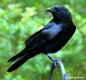 american crow IMG_3459©Maria de Bruyn res