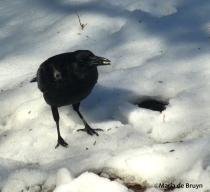 American crow IMG_3544©Maria de Bruynres