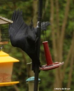 American crow IMG_8668©Maria de Bruyn res