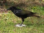 American crow IMG_9437© Maria de Bruyn res