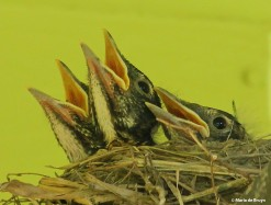 Baby American robin IMG_9188s