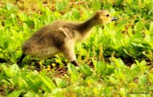 Baby Canada goose MG_0573©Maria de Bruyn