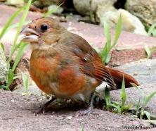 baby cardinal 21  MdB