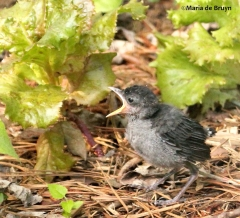Baby Gray catbird IMG_4654©Maria de Bruyn