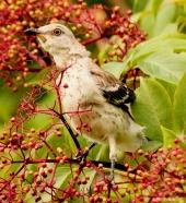Baby mockingbird IMG_4799 ©Maria de Bruyn