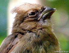 cardinal baby 3 MdB