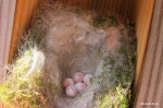 Carolina chickadee eggs IMG_4429©Maria de Bruyn