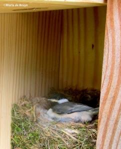 Carolina chickadee nestling IMG_4820©Maria de Bruynres