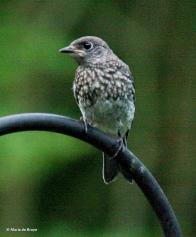 Eastern Bluebird juvenile IMG_5187© Maria de Bruyn