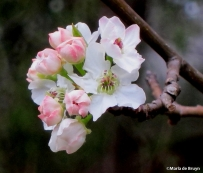 Pear blossom IMG_3985©Maria de Bruyn res