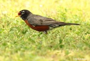 American robin IMG_4531©Maria de Bruyn res