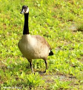 Canada goose IMG_0563©Maria de Bruyn res