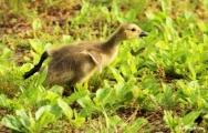 Canada goose IMG_0572©Maria de Bruyn res