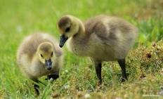 Canada goose IMG_0765©Maria de Bruyn res