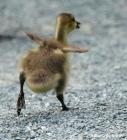 Canada goose IMG_0772©Maria de Bruyn res