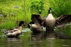 Canada goose IMG_1089©Maria de Bruyn res