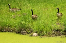 Canada goose IMG_3945©Maria de Bruyn res