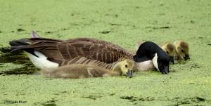 Canada goose IMG_4364©Maria de Bruyn res