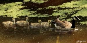 Canada goose IMG_4403©Maria de Bruyn res