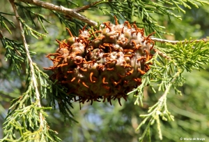 Cedar apple rust IMG_9380© Maria de Bruyn