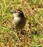 chipping sparrow IMG_1626©Maria de Bruyn2 res