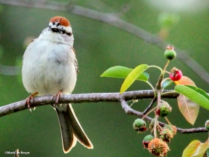 chipping sparrow IMG_2268©Maria de Bruyn2 res