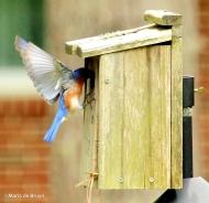 Eastern bluebird Eastern bluebird IMG_9753©Maria de Bruyn res