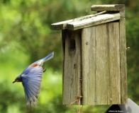 Eastern bluebird Eastern bluebird IMG_9836©Maria de Bruyn res