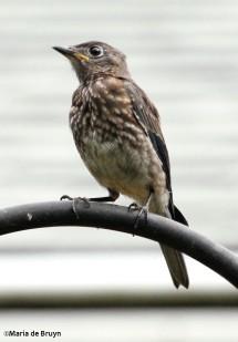 Eastern bluebird IMG_1248©Maria de Bruyn res