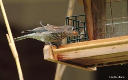Eastern bluebird IMG_1275©Maria de Bruyn res