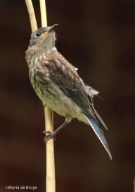 Eastern bluebird IMG_1285©Maria de Bruyn res