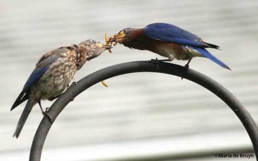 Eastern bluebird IMG_1662©Maria de Bruyn res