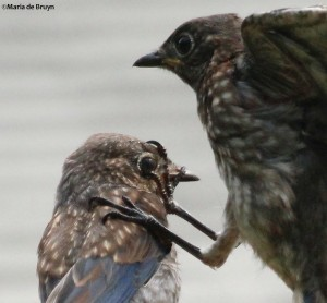 Eastern bluebird IMG_1696©Maria de Bruyn close-up